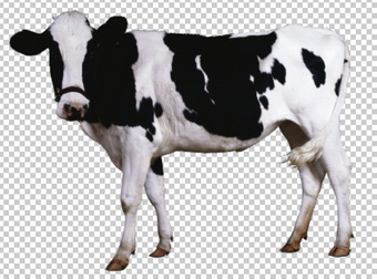 42-animals-cow-1